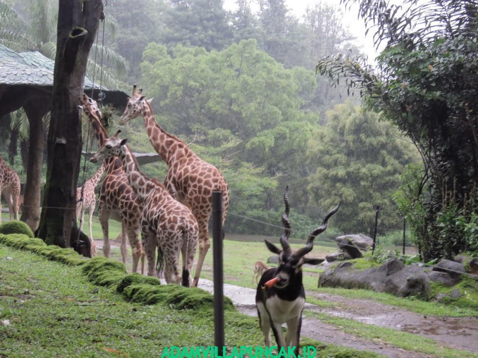 wisata puncak taman safari